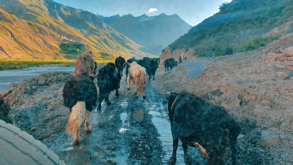 Buffalos in Spiti Valley